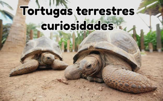 tortugas terrestres curiosidades